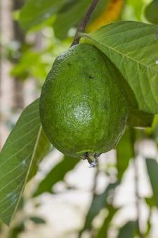 나무에서 자라는 녹색 생 구아바 과일을 닫습니다.