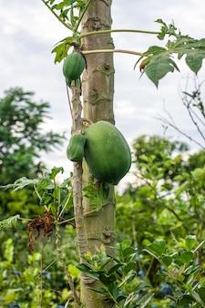 정원의 작은 가지에서 자라는 녹색 생 파파야 과일
