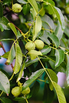 Green raw walnuts growing on a tree