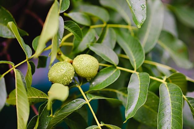 Green raw walnuts growing on a tree