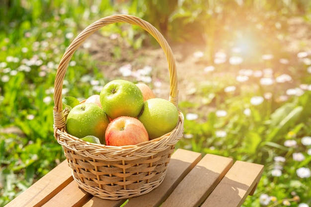 Green and red apples in wicker basket on wooden table green grass in the garden harvest time sun flare