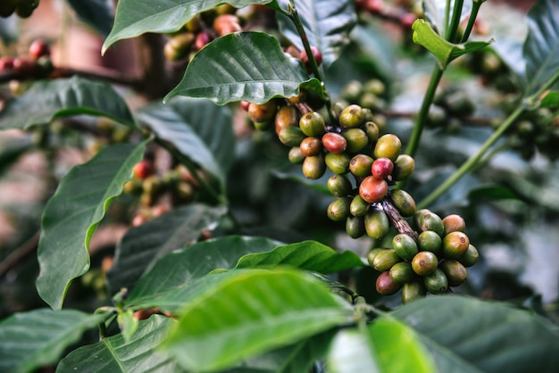 Green and red arabica coffee berries from coffee tree in the akha village of maejantai on the hill in chiang mai, thailand.