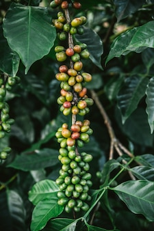 Green and red arabica coffee berries from coffee tree in the akha village of maejantai on the hill in chiangmai, thailand.