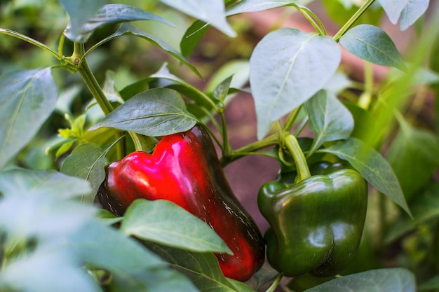 Green and red bell pepper growing in garden