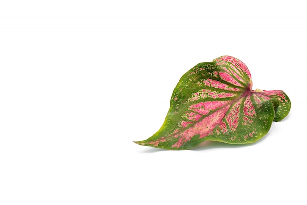 Green and red caladium bicolor isolated on white