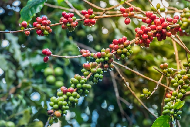 Green and red coffee beans growing on the branch.