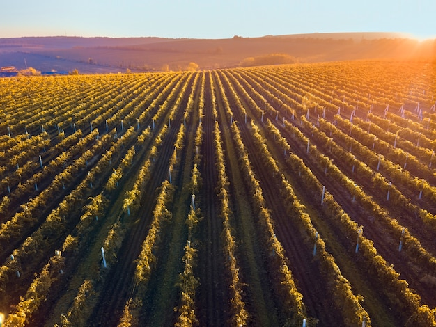 Green and red vineyard rows at sunset in moldova, glowing orange sun