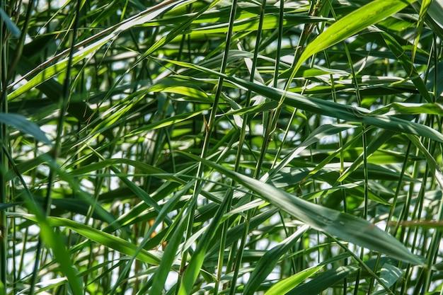 Green reed cane grass
