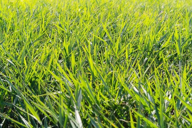 緑の葦が急いで、杖のブラシウッドが風に吹かれています。