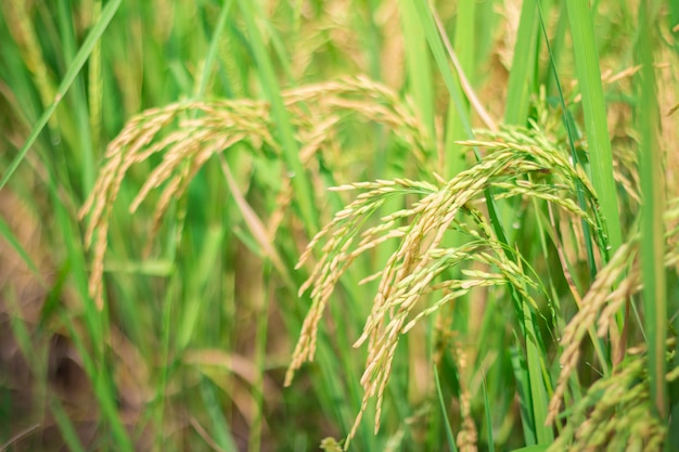 Green rice in cultivated agricultural field early stage of farming plant development