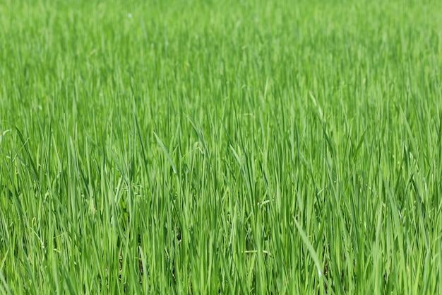 緑の水田とタイの田園地帯の土地