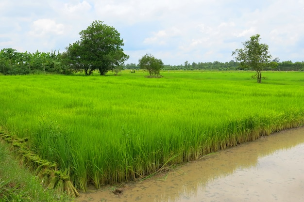 The green rice field in growing season