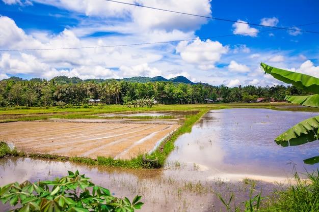 Зеленое рисовое поле в филиппинской деревне на острове бохоль