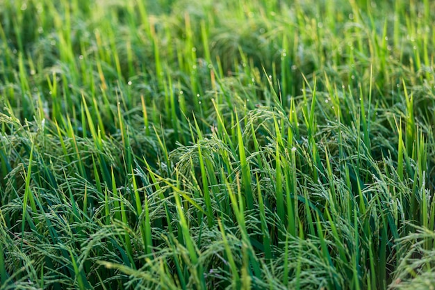 Поле зеленого риса утром на пальме во время восхода солнца.