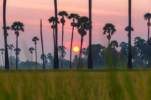 일출 시간 동안 야자수에 아침에 녹색 쌀 필드