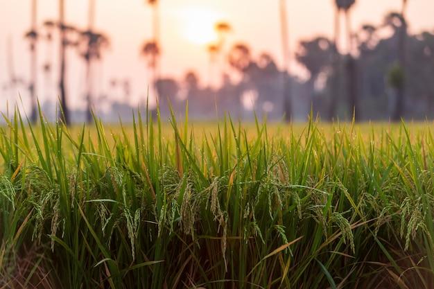 일출 시간 동안 야자수와 함께 아침에 녹색 쌀 필드