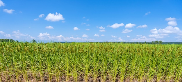 Green rice field in the morning under blue sky