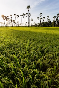 Green rice field in the morning on palm tree during sunrise time.