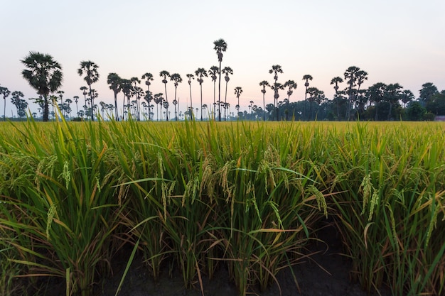 Green rice field in the morning on palm tree during sunrise time