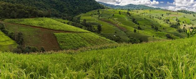 Green rice field, pa bong piang rice, mae chaem, chiang mai,thailand.