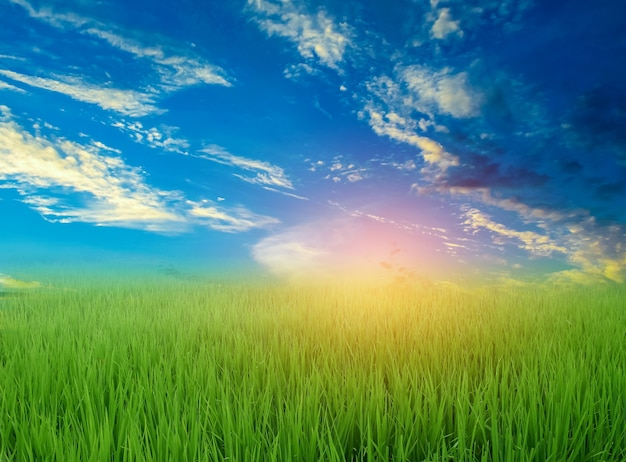 Green rice field in the rainy season and blue sky beautiful natural scenery in the evening sunset over the rice fields