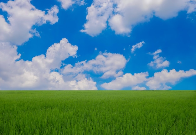 Green rice field in the rainy season and blue sky