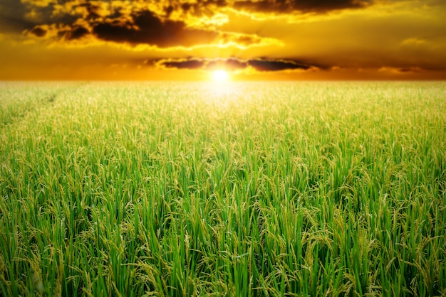 Green rice field at sunrise sky