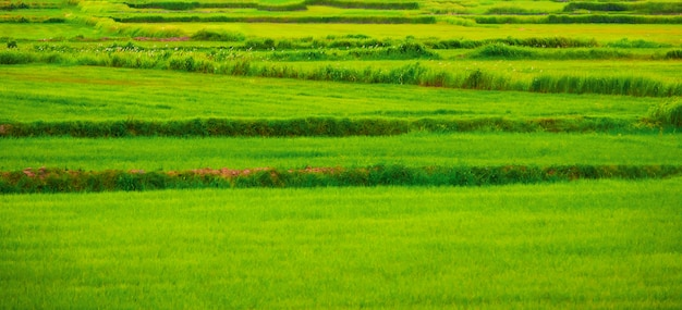 Green rice field in thailand - colorful green.