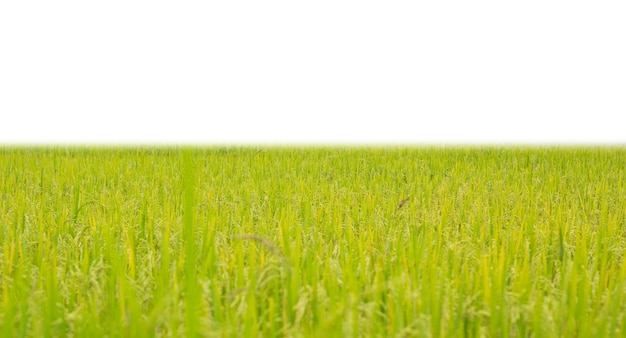 Green rice field on white background