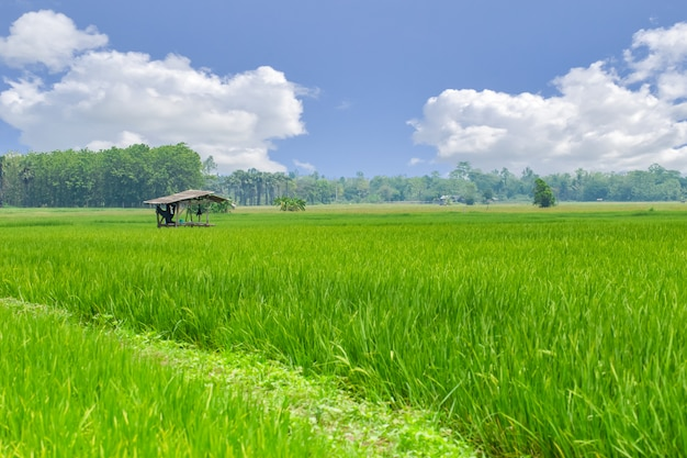 Green rice field with blue bsky cloud countryside with farmer hut landscape nature in asian country