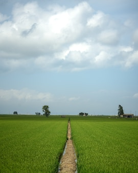 Green rice field with blue sky and clouds