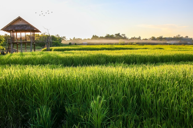 Green rice field with blue sky, natural background.