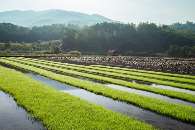 Green rice field with mountain background