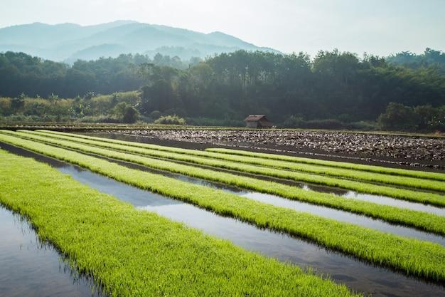 산 배경으로 녹색 쌀 필드