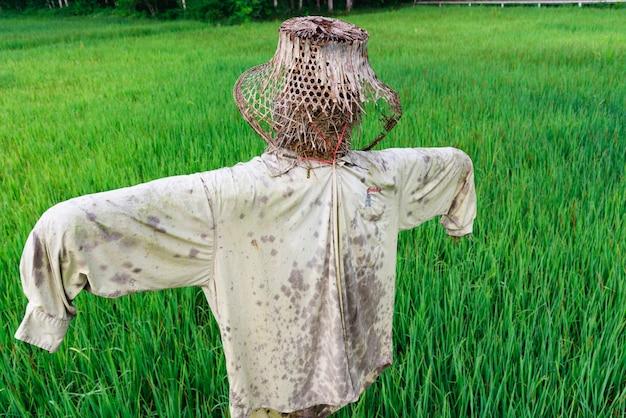 Зеленое рисовое поле с чучелом
