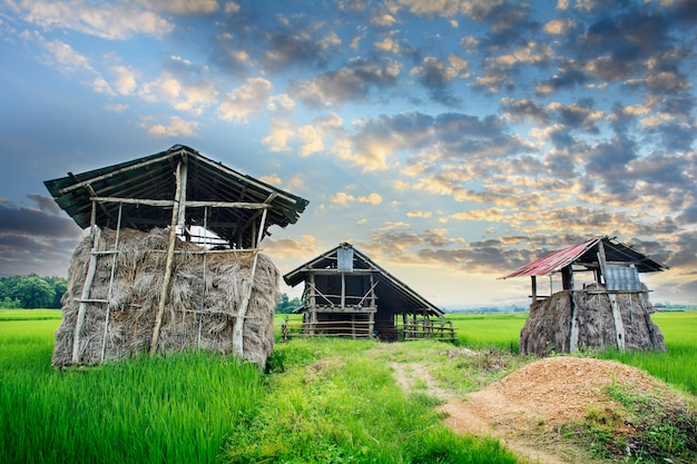 Green rice field with straw hut home-stay