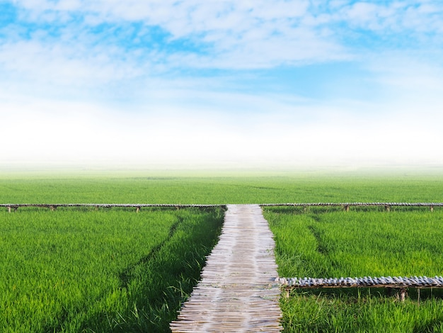 Green rice field and wooden pathway