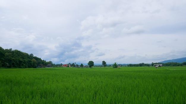 梅雨と青空の緑の田んぼ