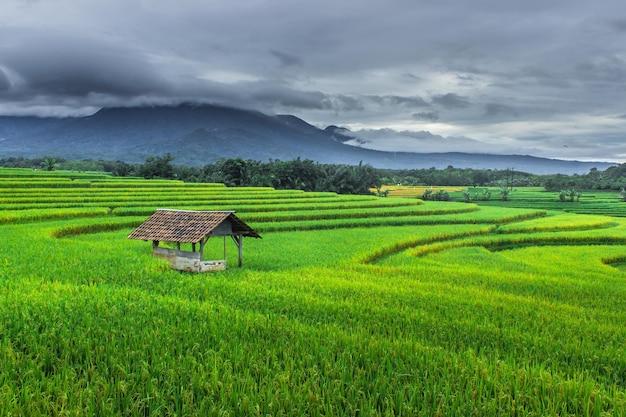 曇った暗い景色を望む朝の緑の田んぼ