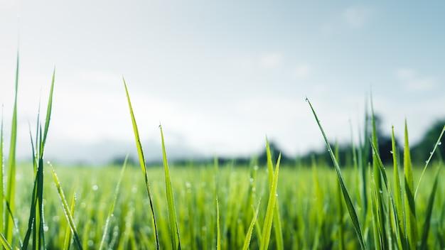 梅雨の緑の田んぼ田舎