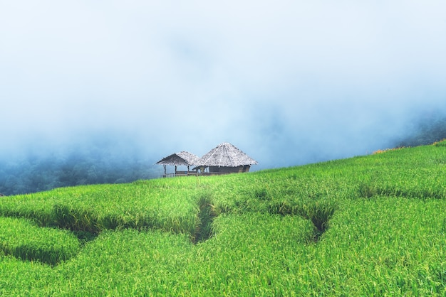 Green rice fields on mountain range, with white fog background,