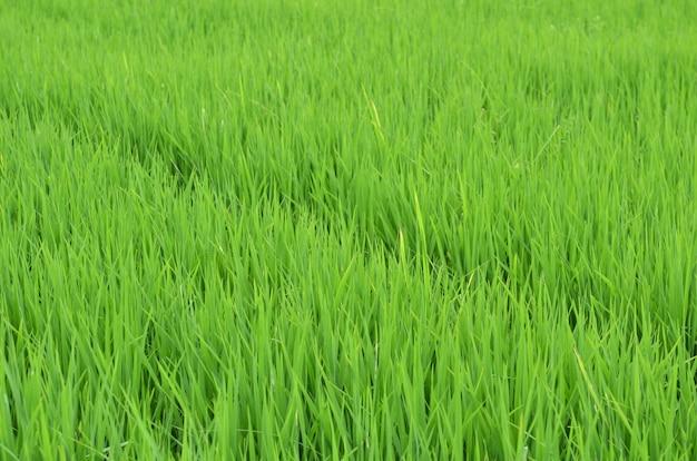 태국의 녹색 논