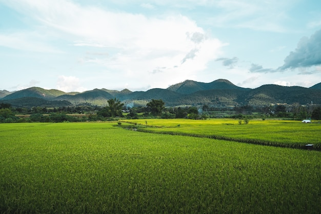 Green rice fields in the rainy season in the countryside