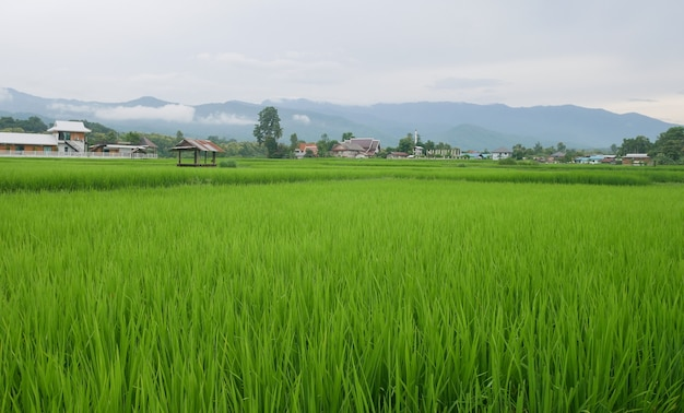 Green rice fields in the rainy season and mountains beautiful natural scenery