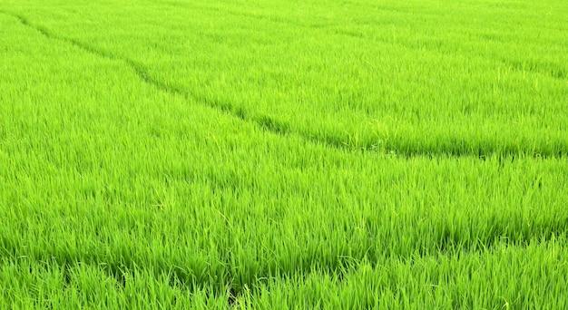 Green rice fields of thailand