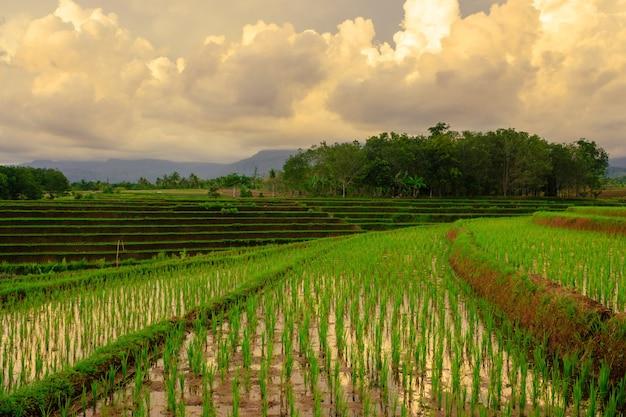Bengkulu indonesia asia의 아름다운 산과 함께 오후에 넓은 테라스가있는 녹색 논