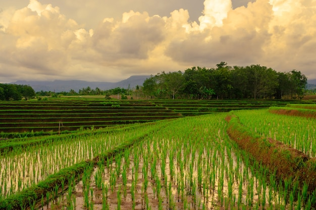 Green rice fields with a wide terrace in the afternoon with beautiful mountains in bengkulu indonesia asia