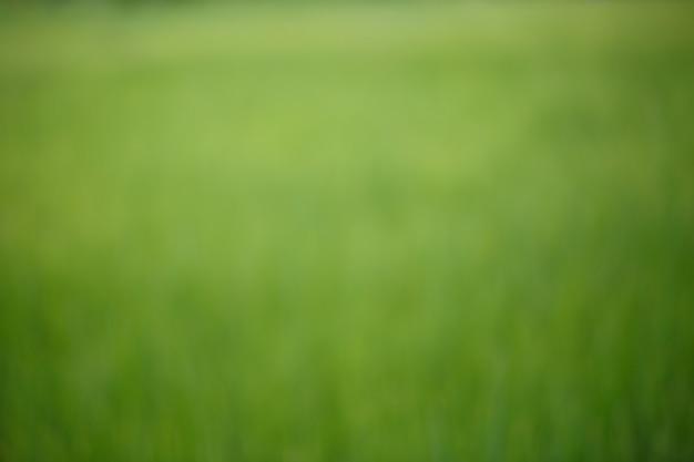 緑の米の牧草地のぼやけた背景