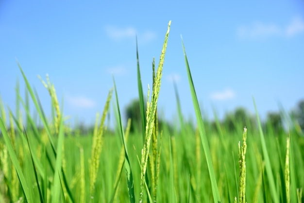 Green rice in nature on green nature background