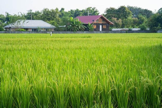 Рисовое поле зеленого риса